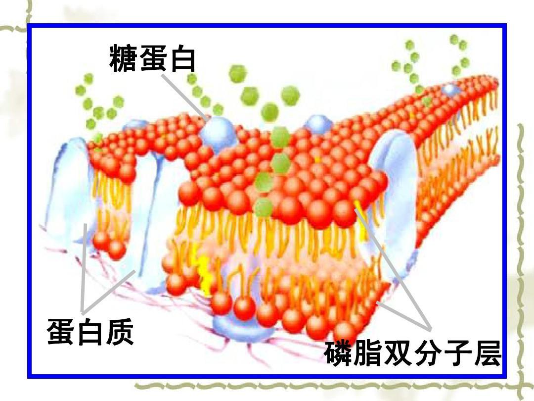 磷脂双分子层