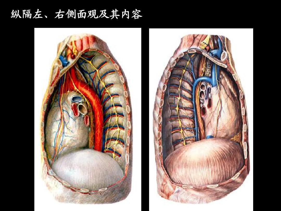 胸部水平断面解剖1ppt