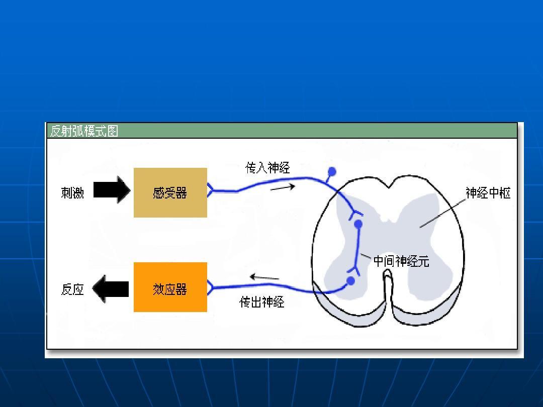 反射弧的分析,反射时的测定本科-2ppt