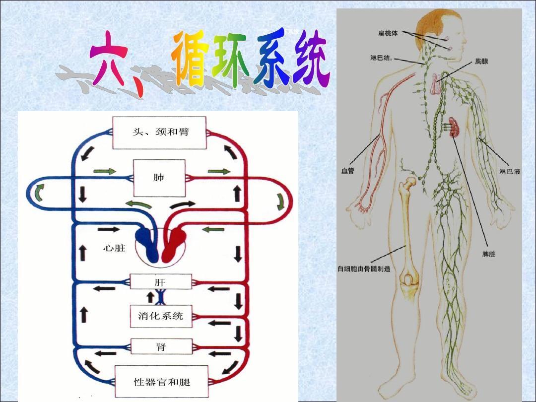人体系统_人体九大系统ppt