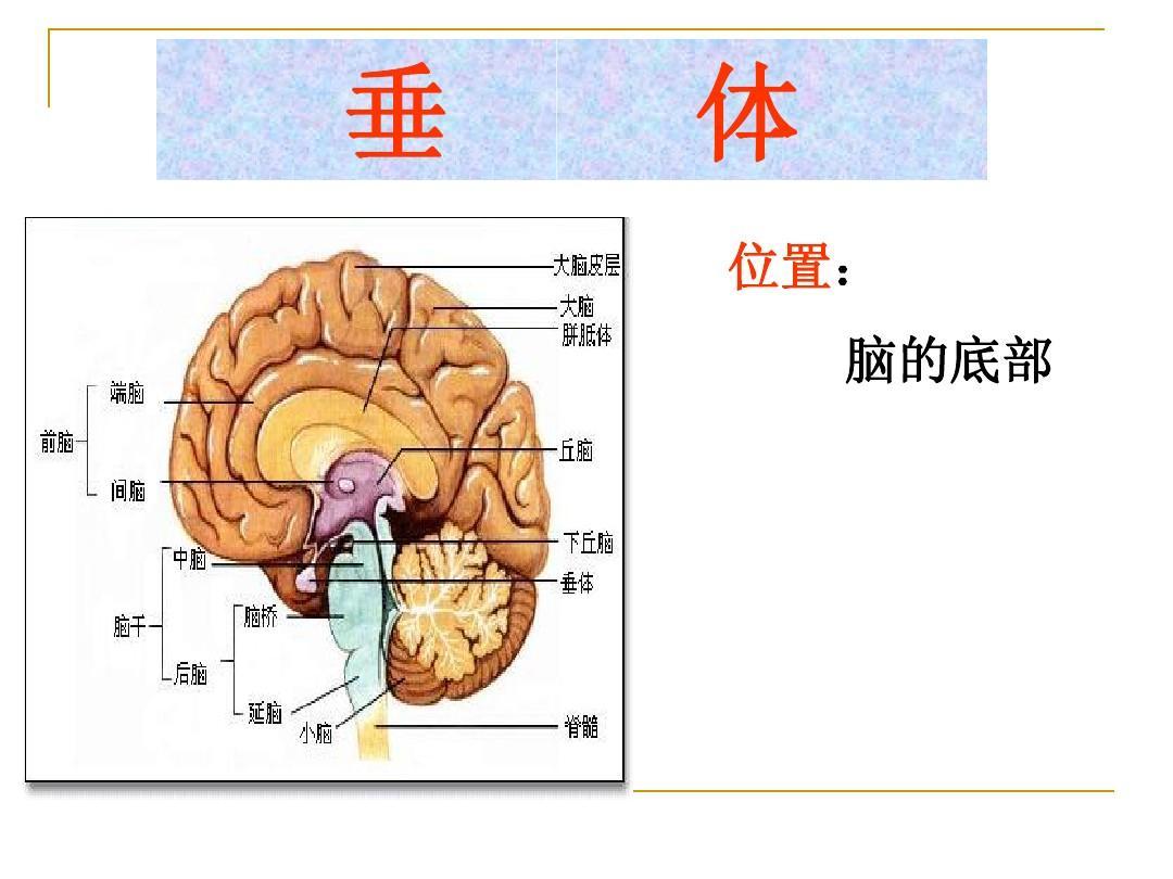 生物人体结构_生物-人体的激素调节ppt
