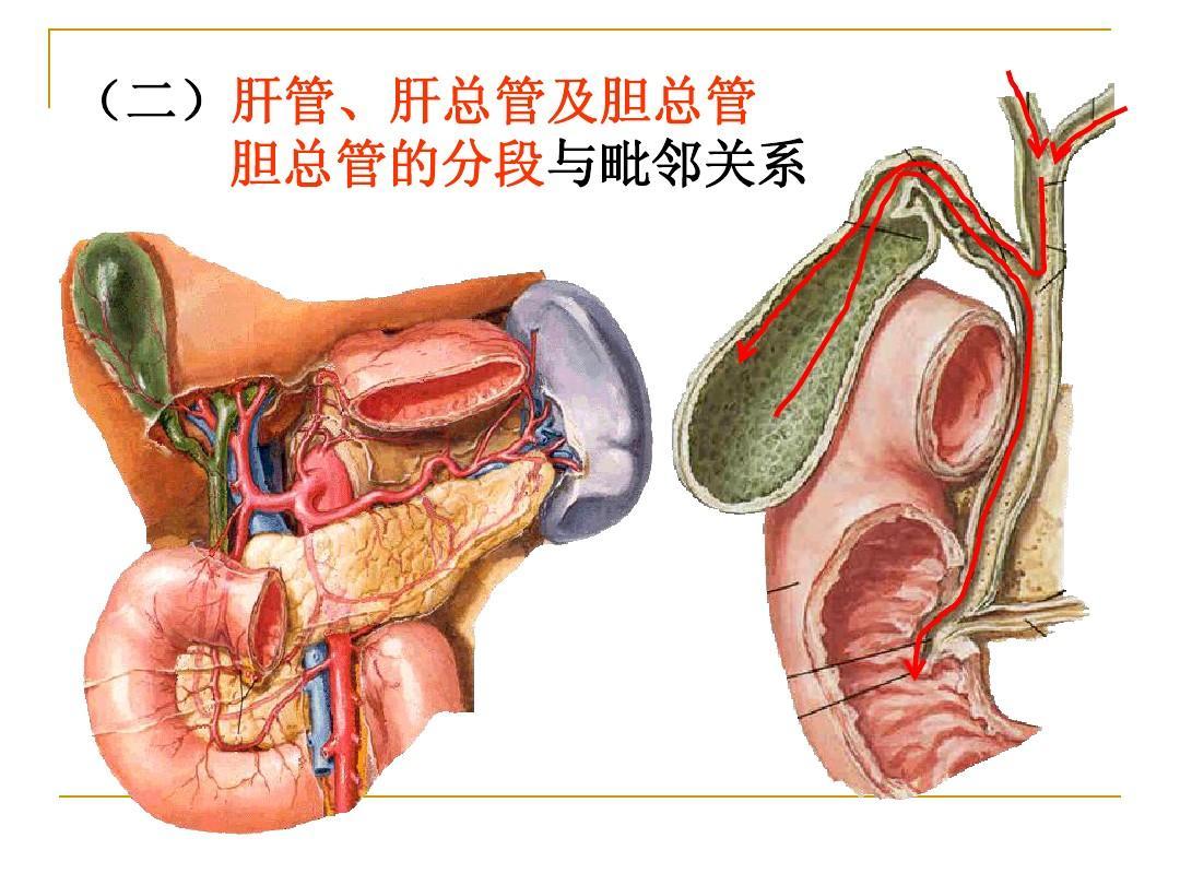 结肠上区局部解剖ppt