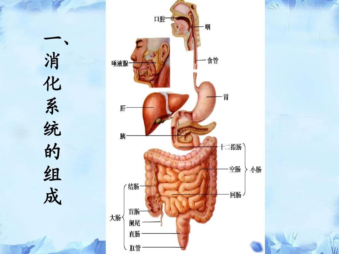 人体解剖学_人体解剖学与组织胚胎学-消化系统-河套学院-王强ppt