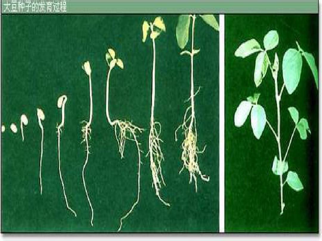 品德 大豆生长过程ppt