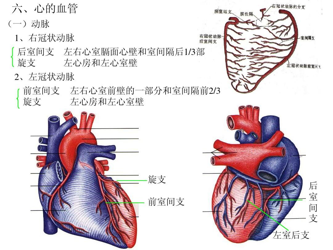 心脏解剖图ppt图片