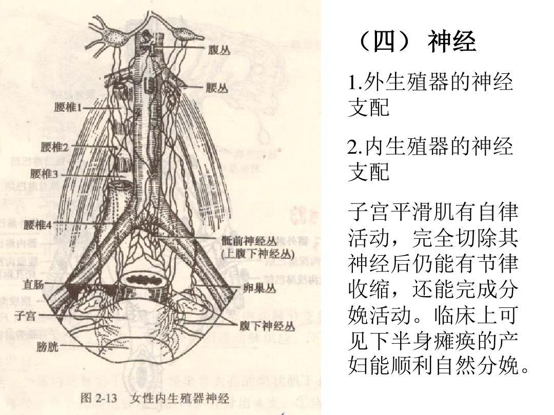 陰蒂的圖片_女性生殖器陰蒂陰道口處女膜的照片圖解ppt