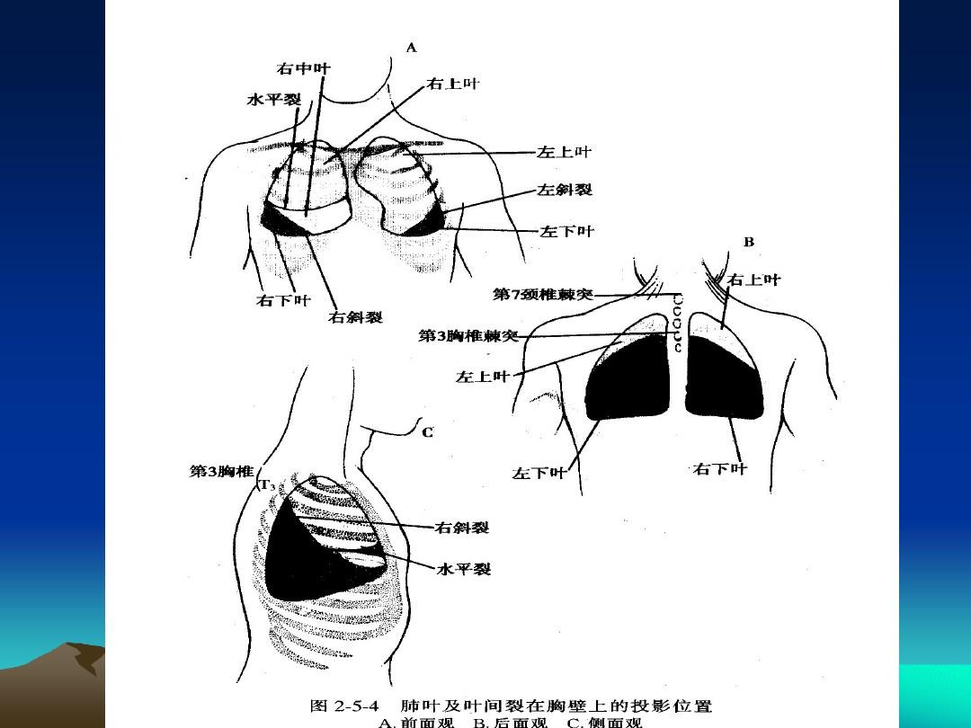 裂体生殖_肺叶与 叶间裂的 体表投影
