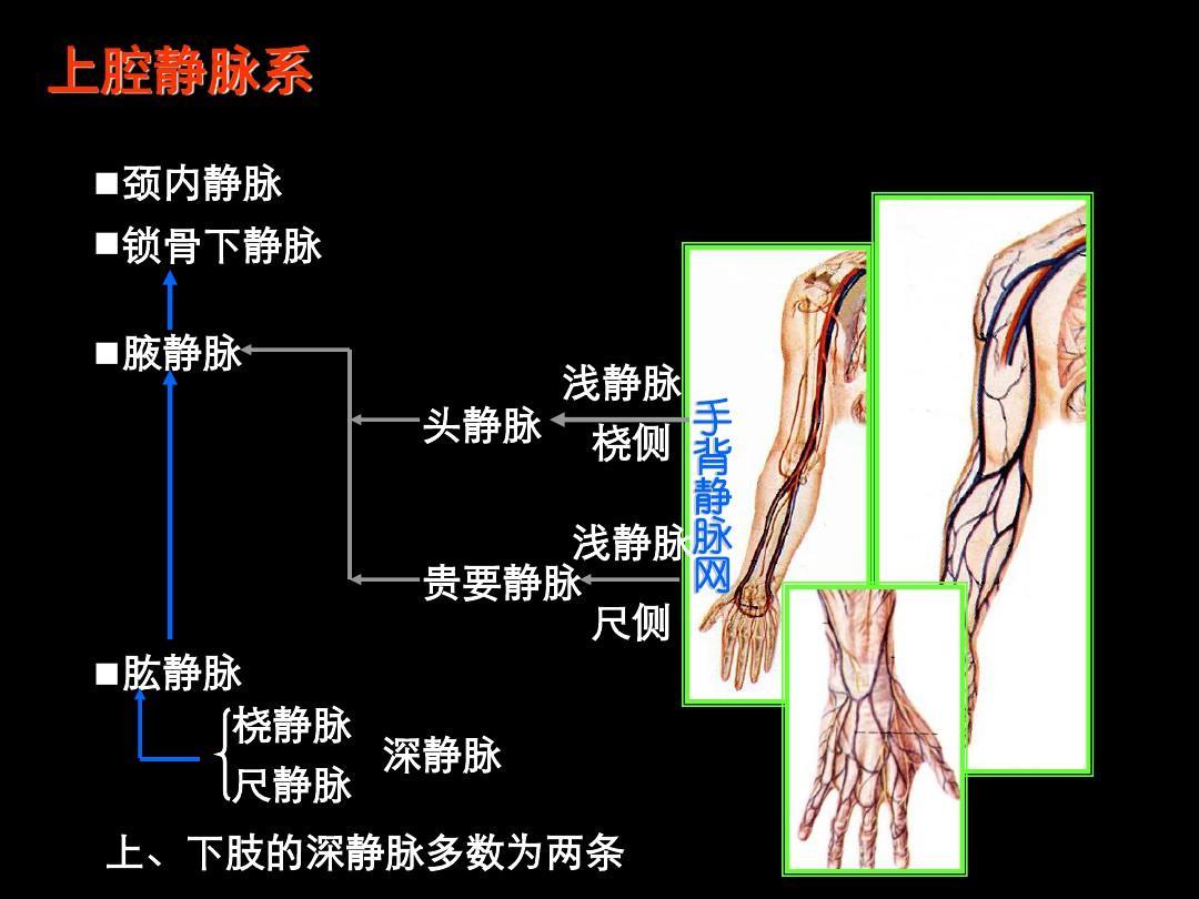 生理解剖学_无忧文档 所有分类 高等教育 理学 心血管系统(解剖学)ppt  动物生理