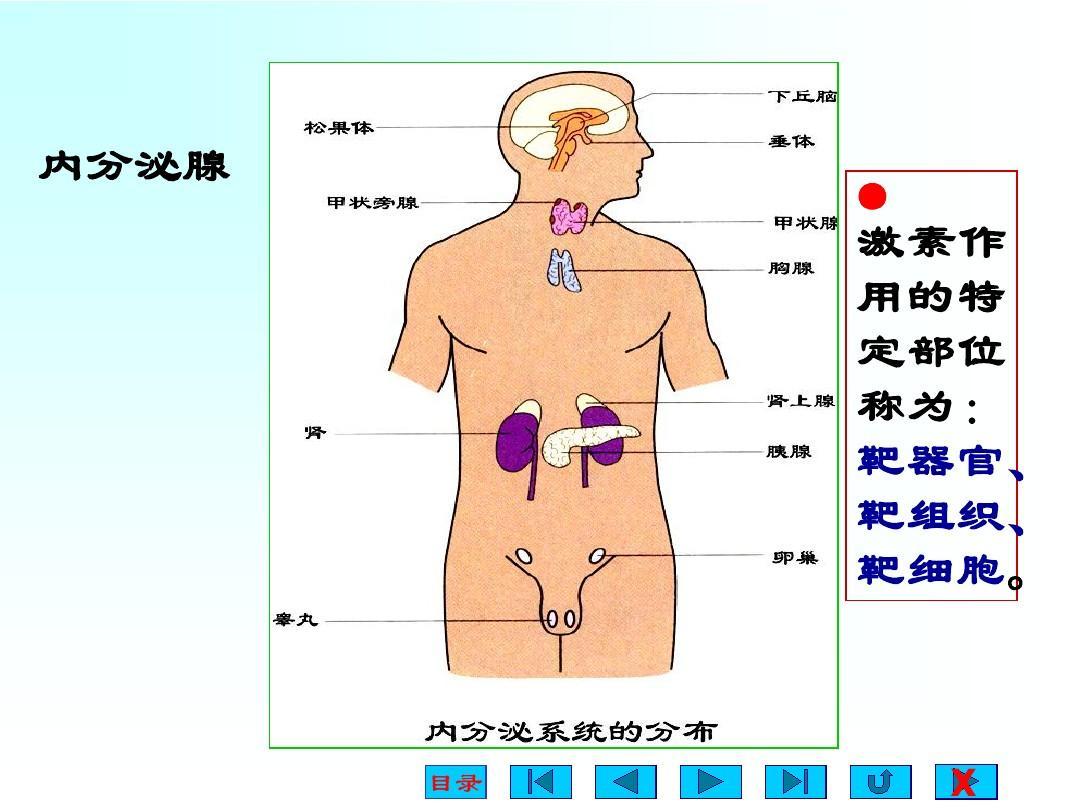 人体生理弯曲_第人体及动物生理学 十四章 内分泌ppt