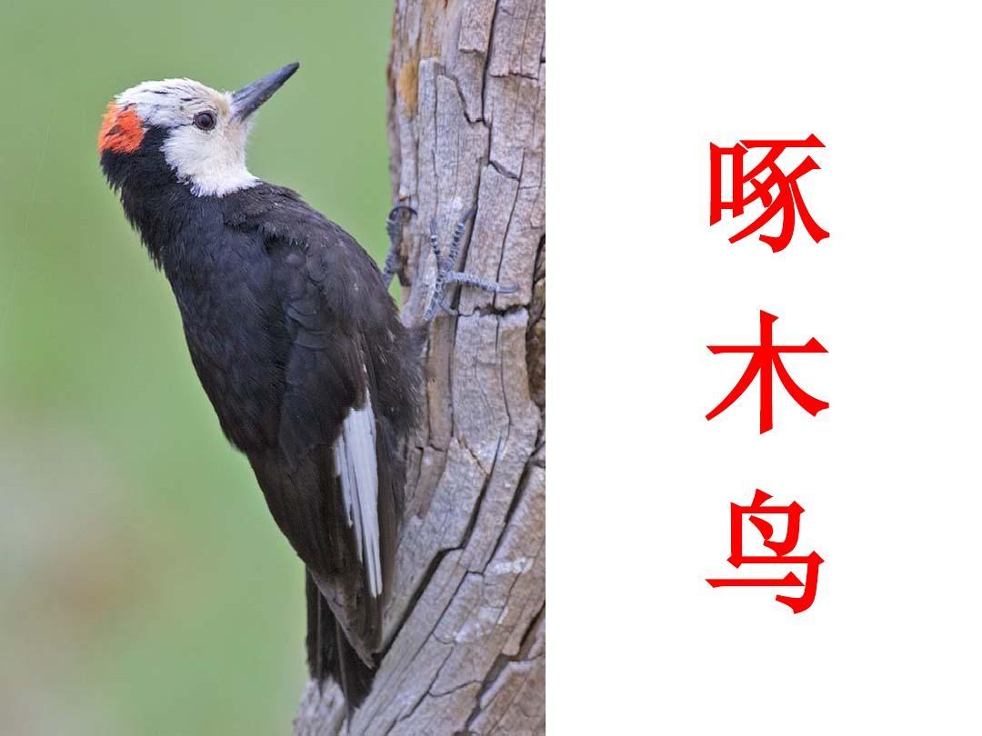 幼儿园ppt课件:鸟的压强课件ppt图片图片