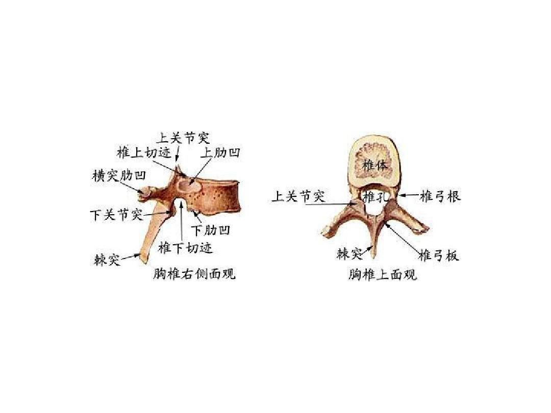 生理解剖学_人体生理解剖学图解ppt