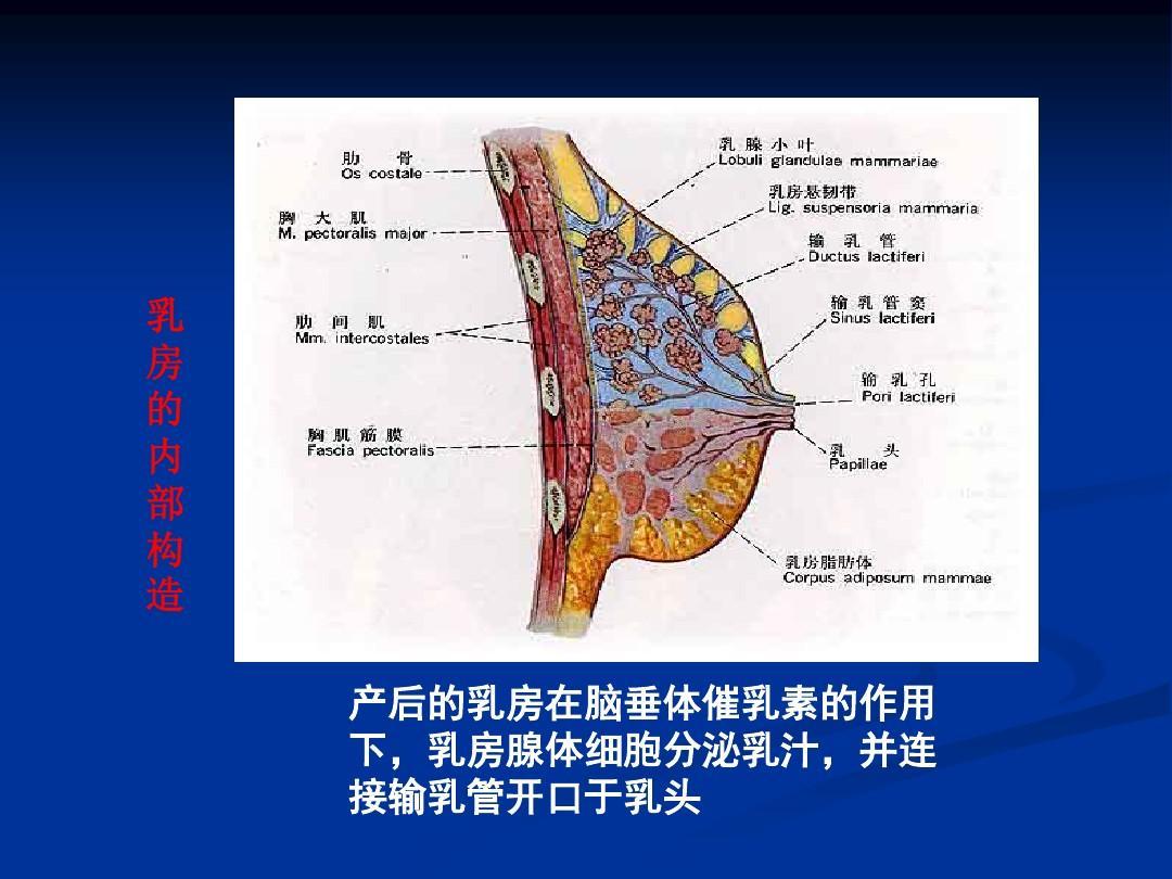 大胆人体生殖器艺术_女性生殖器官解剖学ppt
