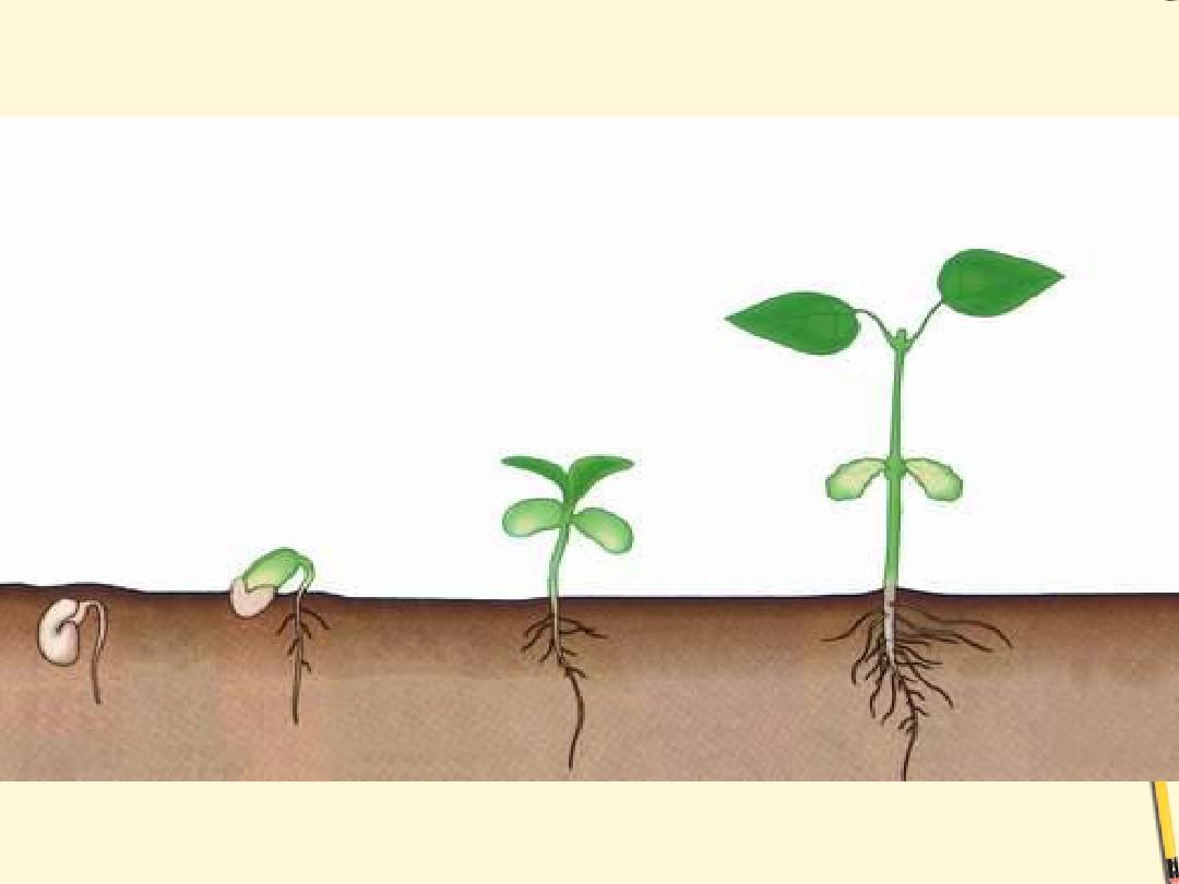 七年级生物上册_5.1植物种子的萌发1课件_苏教版ppt__