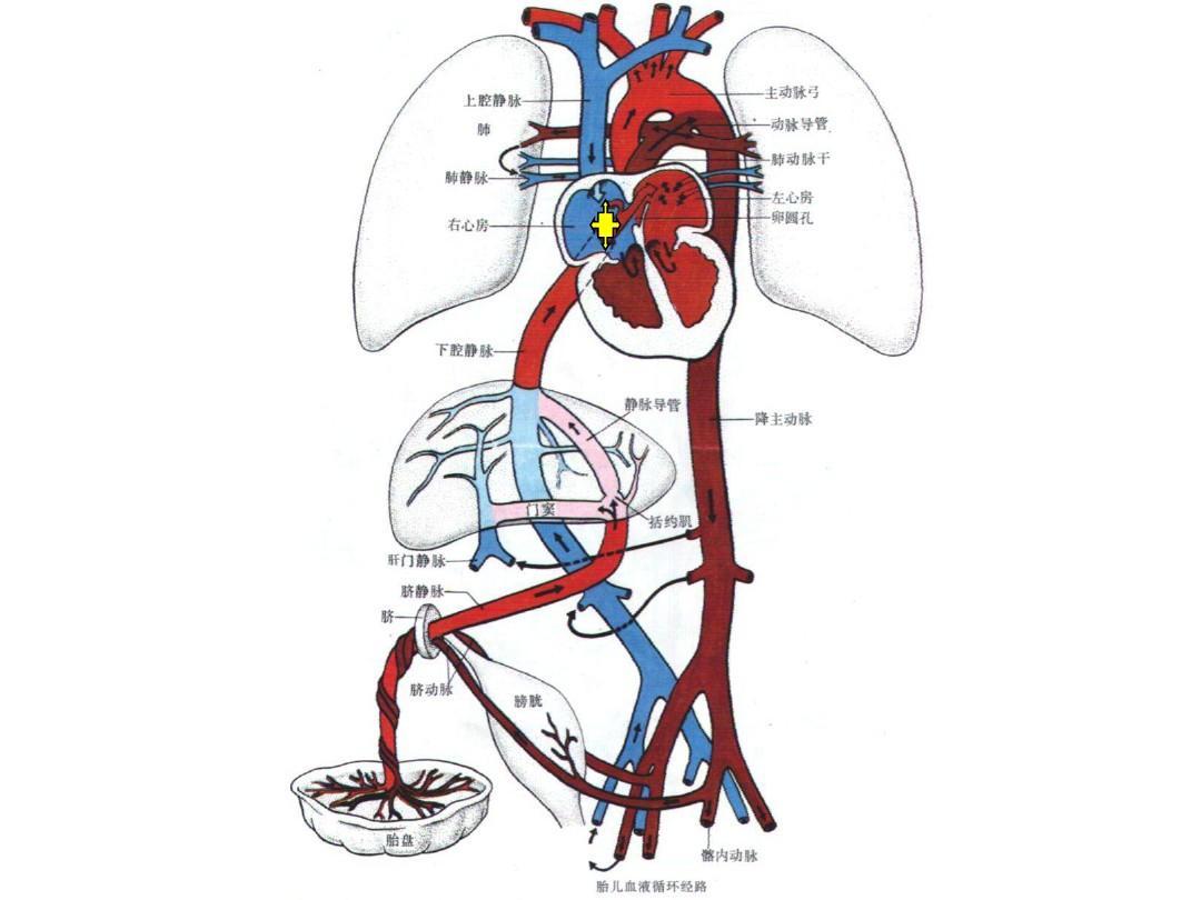 先天性心脏病课件 心脏胚胎发育 胚胎发育过程 血液循环系统 胎儿心脏图片
