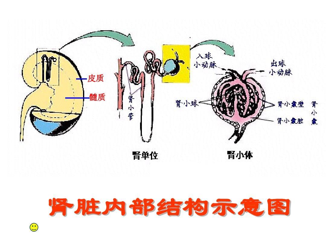 肾单位的结构ppt图片