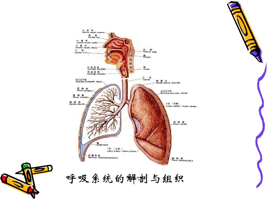 呼吸系统的组织与解剖瓦楞纸的创意说课稿图片