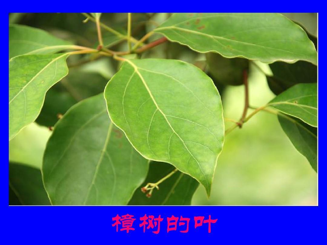 樟树的叶图片