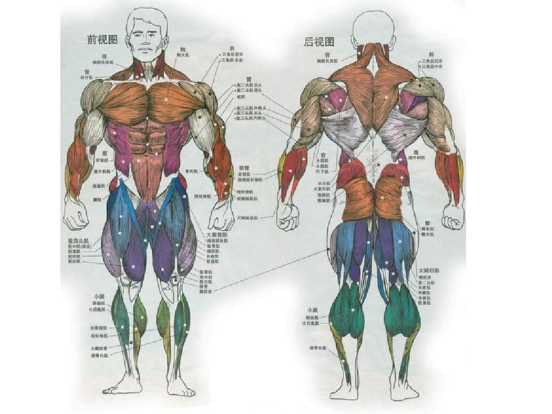 人体肌肉_人体肌肉分布图ppt