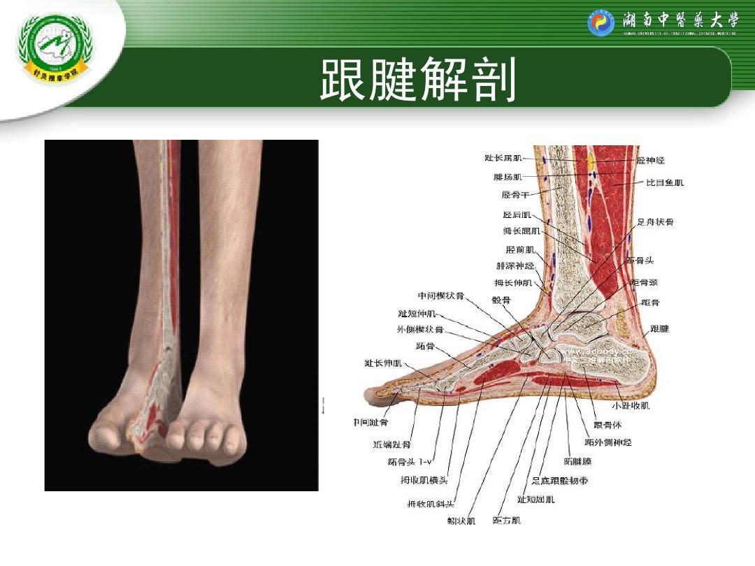 跟腱断裂修复术后的康复程序ppt