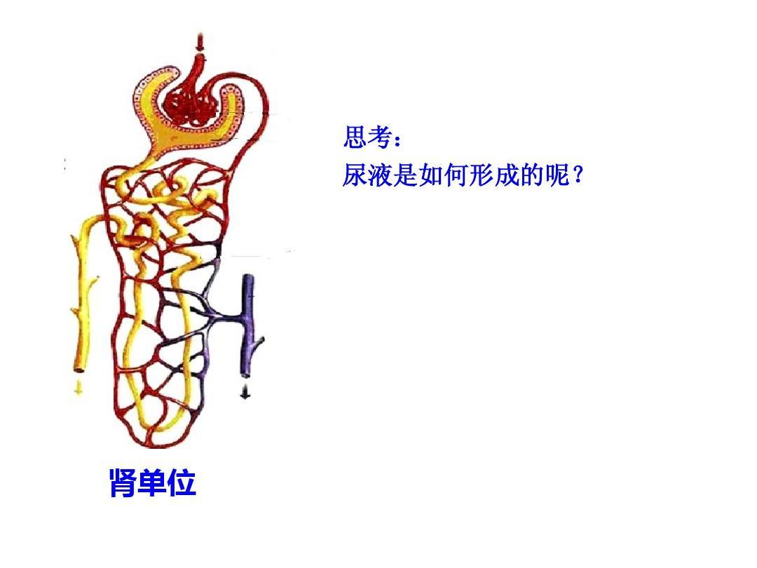 生物人体结构_湖北省十堰市丹江口市习家店中学七年级生物教学课件:人体内废物的