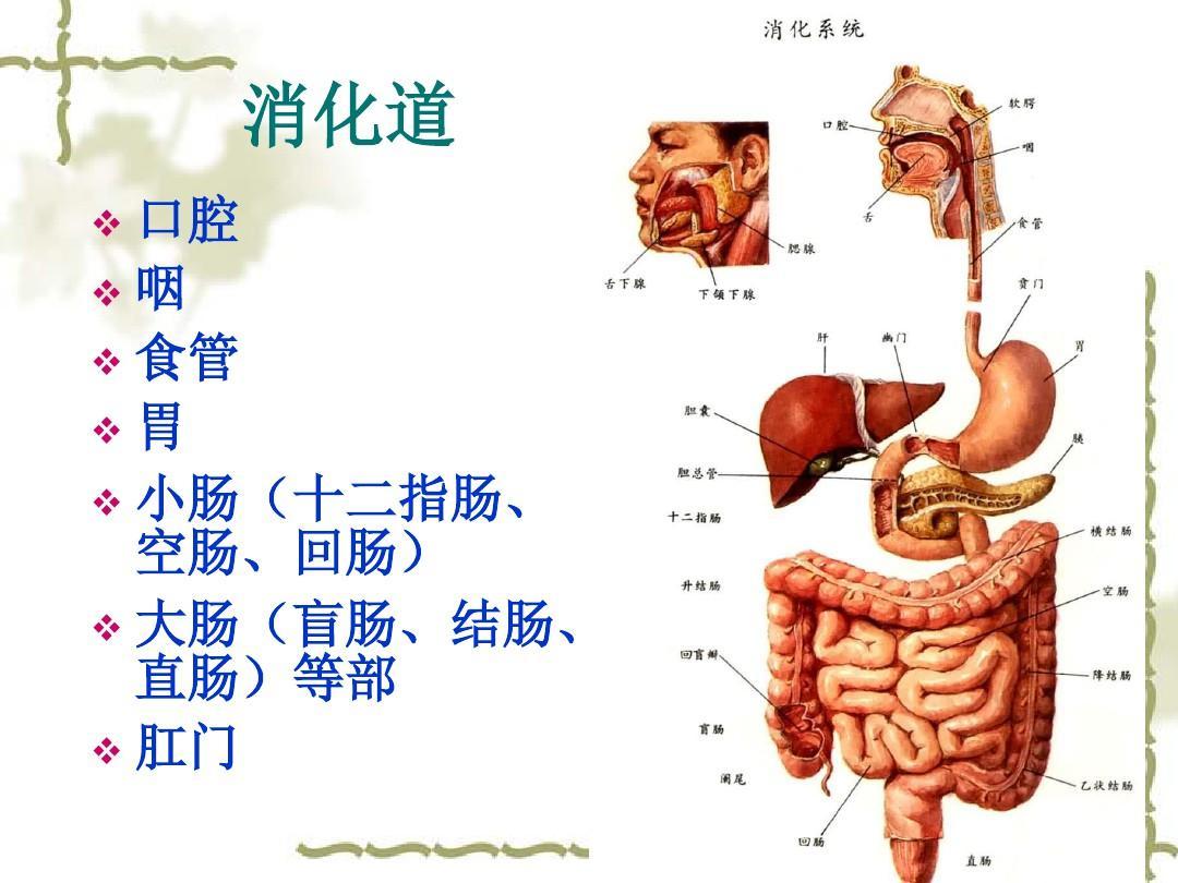 人体系统_人体消化系统所有消化酶的种类!