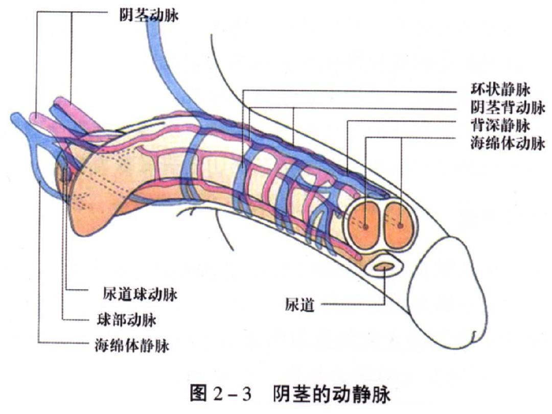 阴茎大小种类_我的阴茎勃起后,长度只有9厘米,是不是太短了,插进去后,老感觉插不