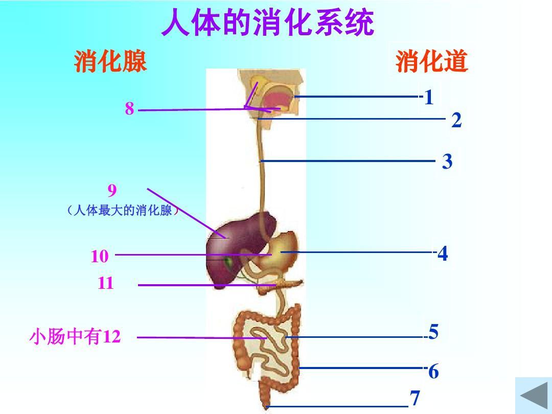 人体系统_人体的消化系统ppt