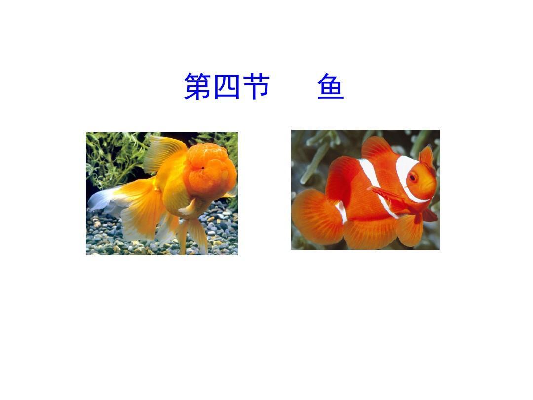 【人教版】生物八年级上册:5.1.4《鱼》ppt教学课件(1)
