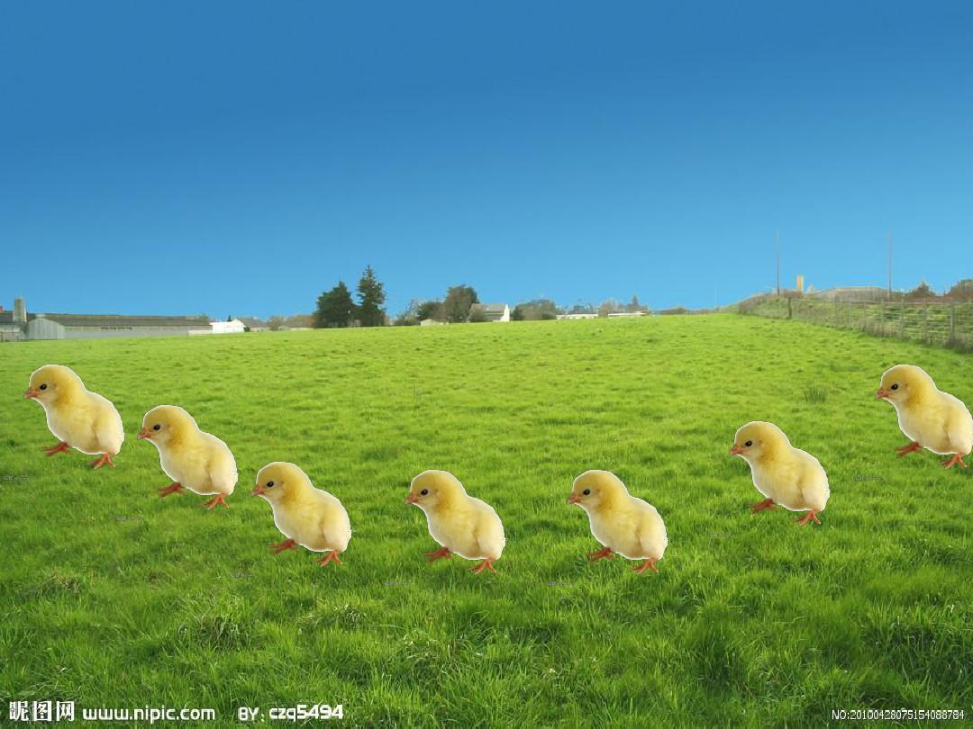 七只小鸡排队走PPT