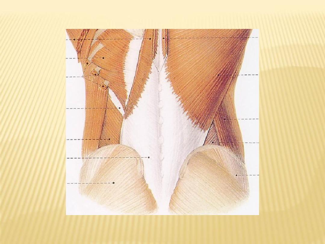 拭腰骶部在那个位置�_腰骶部解剖及手法应用ppt