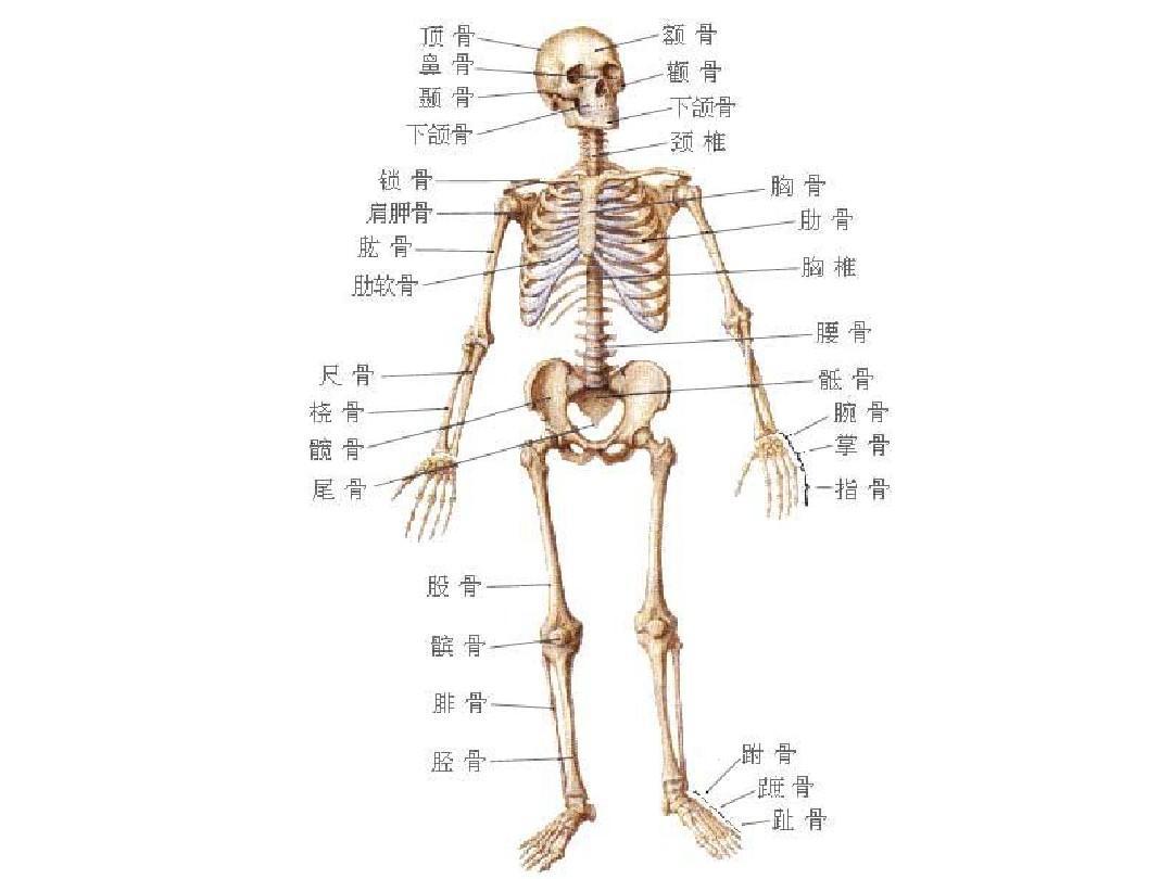 人体骨骼内脏示意图_人体骨骼PPT_word文档在线阅读与下载_无忧文档