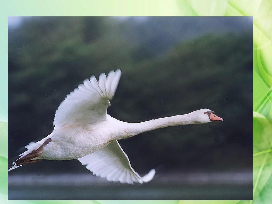 最新审定新北京版四年级语文下册《天鹅的故事》课件5