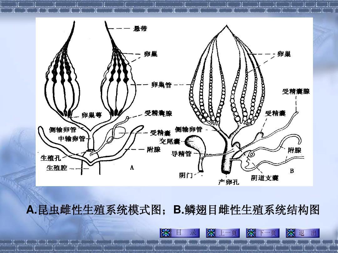 裂体生殖_河北农大普通昆虫学-第三篇-昆虫的内部解剖和生理(体壁生殖及内分泌)