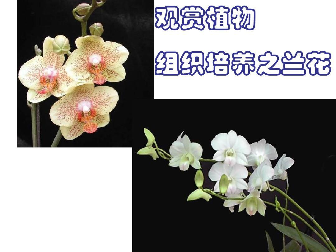 兰花组织培养