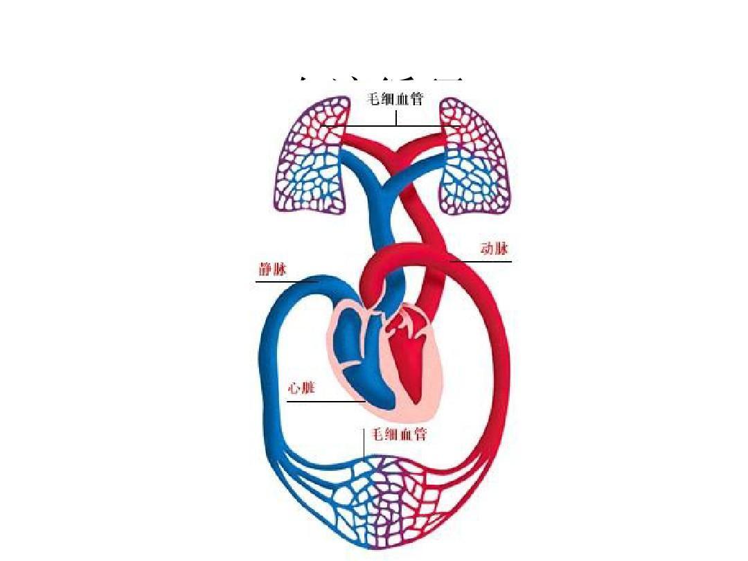 人体血分布�_人体的血液循环ppt