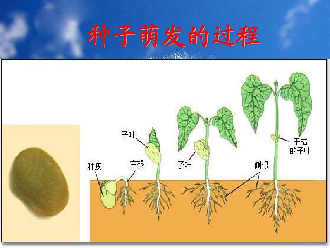 种子萌发的过程