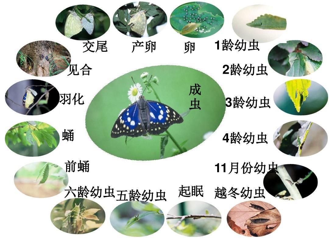 蝴蝶的变态发育过程ppt