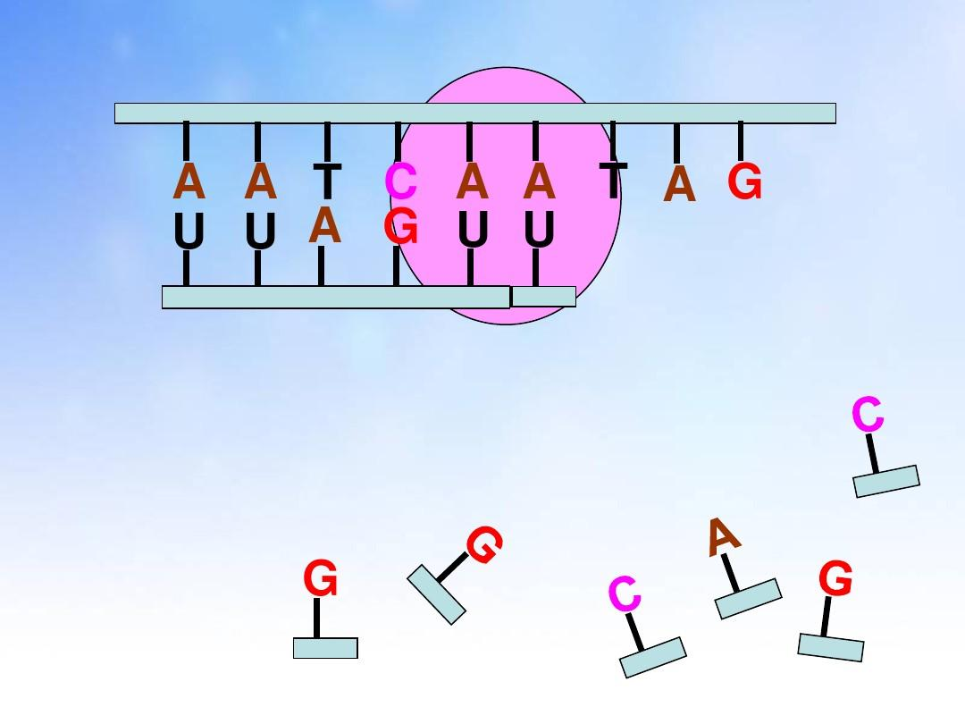 基因表达转录和翻译的过程ppt课件图片