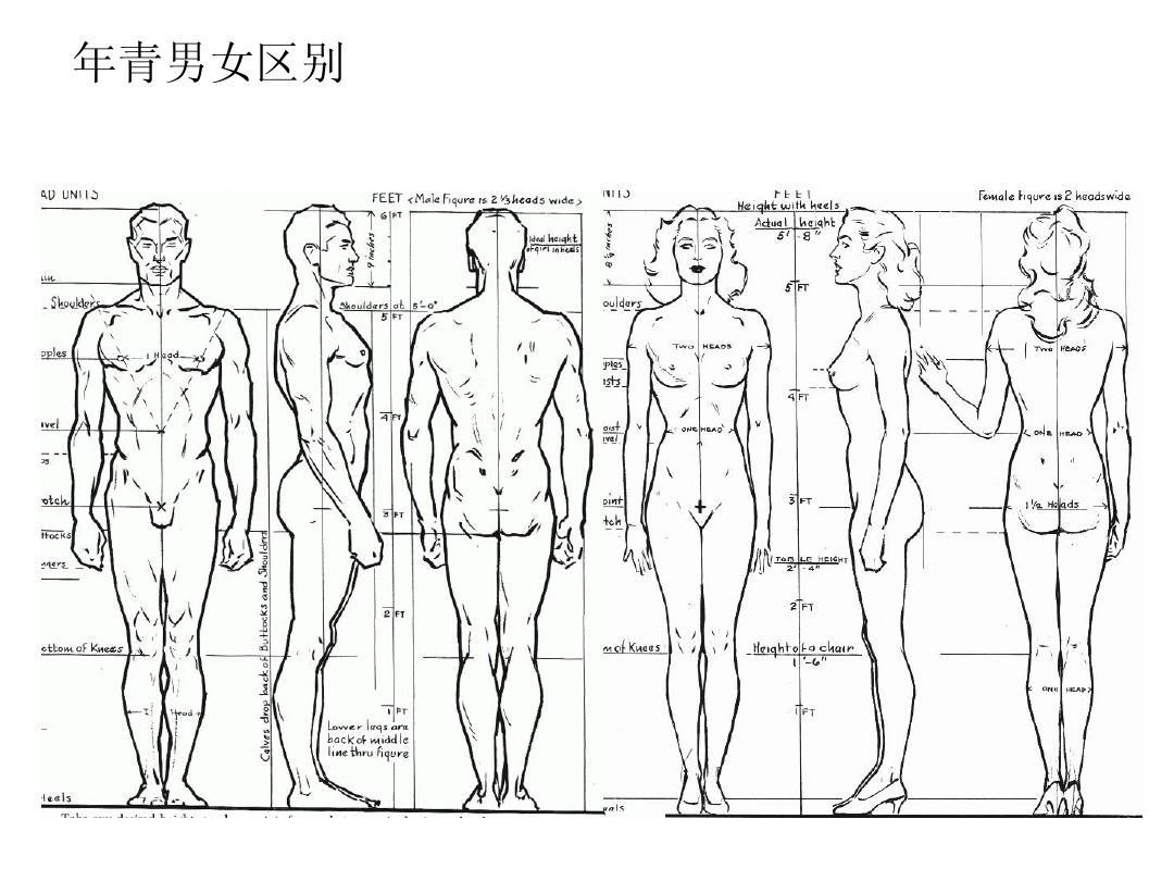 人体比例_绘画资料--人体结构ppt