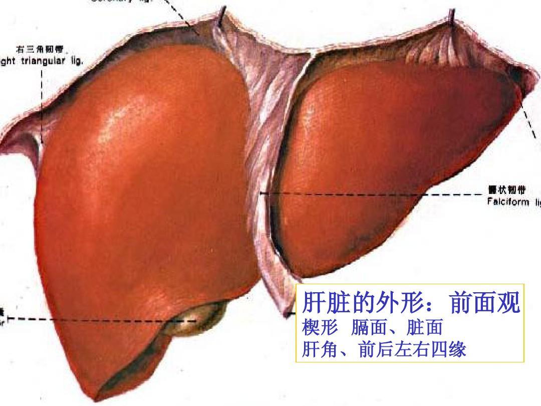 肝脏胆道系统解剖PPT