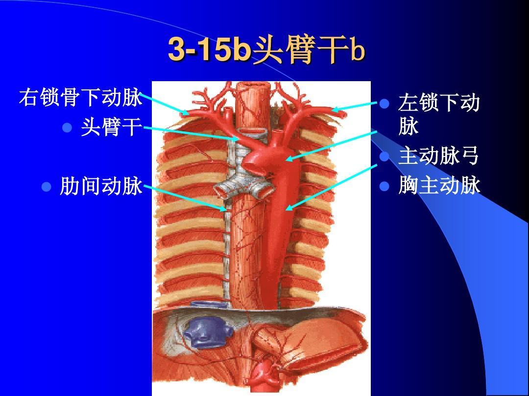 干b故事_3-15b头臂干b 15b头臂干 头臂干b 右锁骨下动脉 头臂干 肋间动脉 左锁