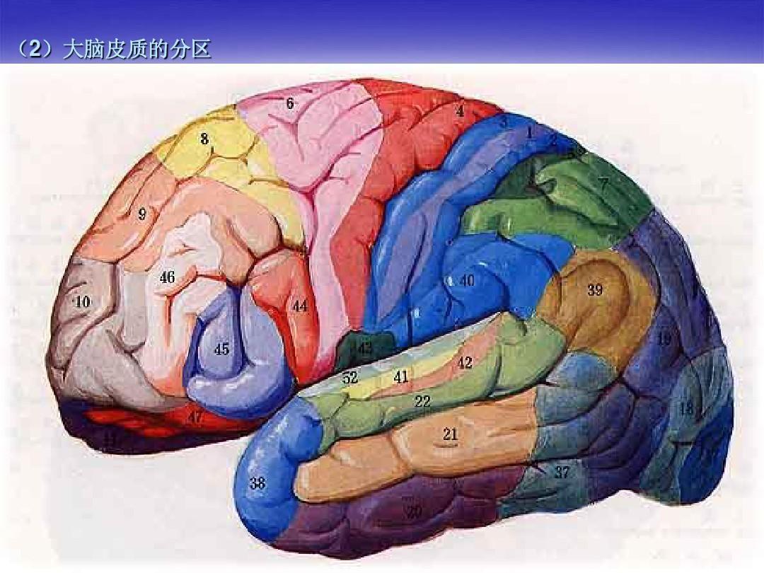 大脑结构_大脑解剖结构ppt