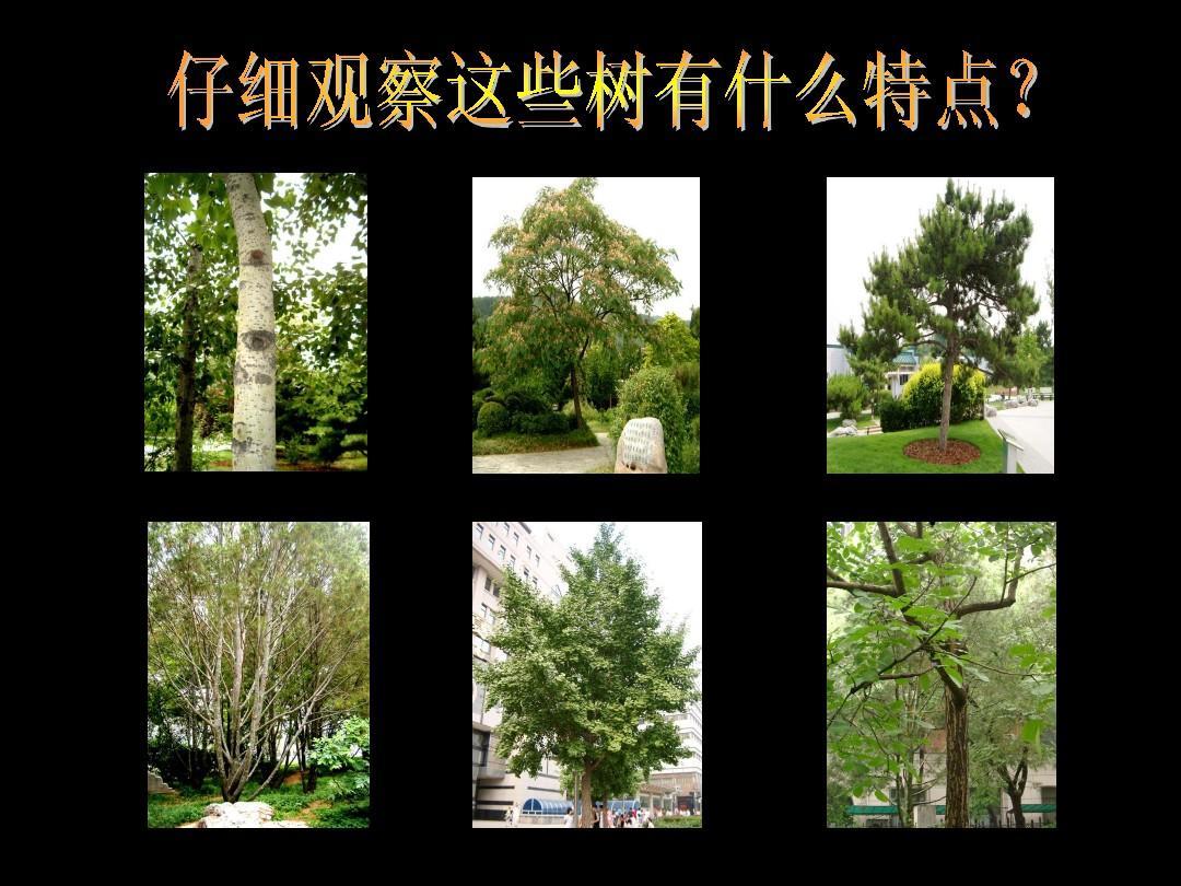 认识身边的树2ppt图片