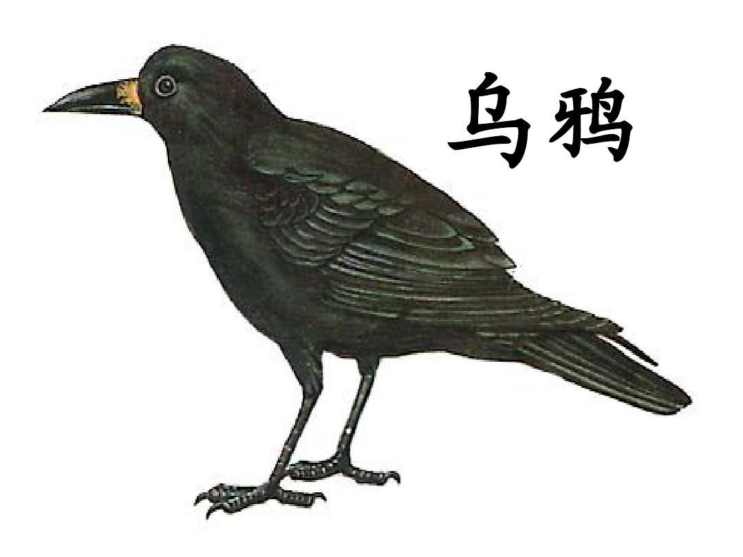 白颈乌鸦活鸟