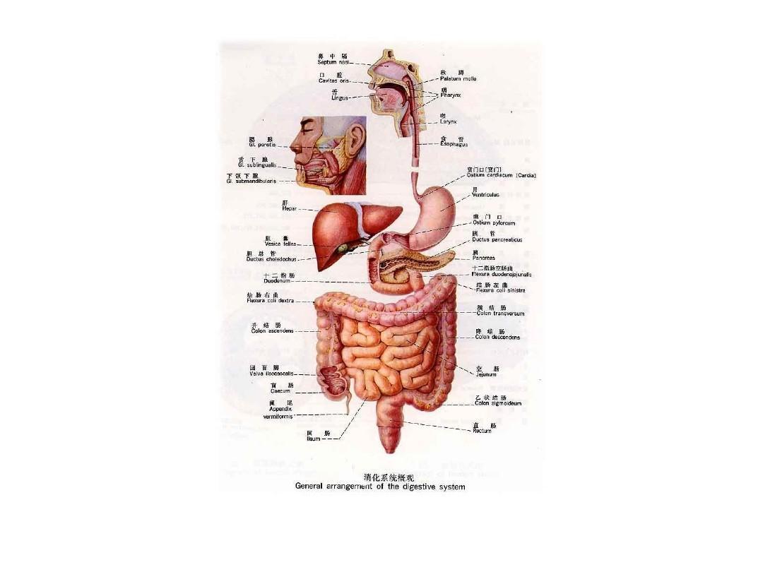 人体结构_人体结构图ppt
