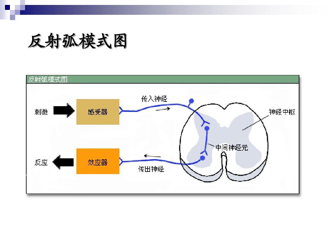 反射弧分析及期前收缩和代偿间歇ppt