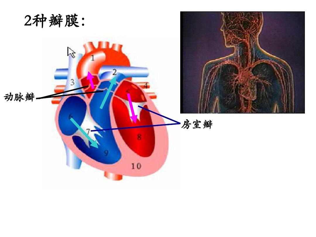 你可能喜欢 输送血液的泵——心脏 血流的管道——血管 心脏血液循环图片