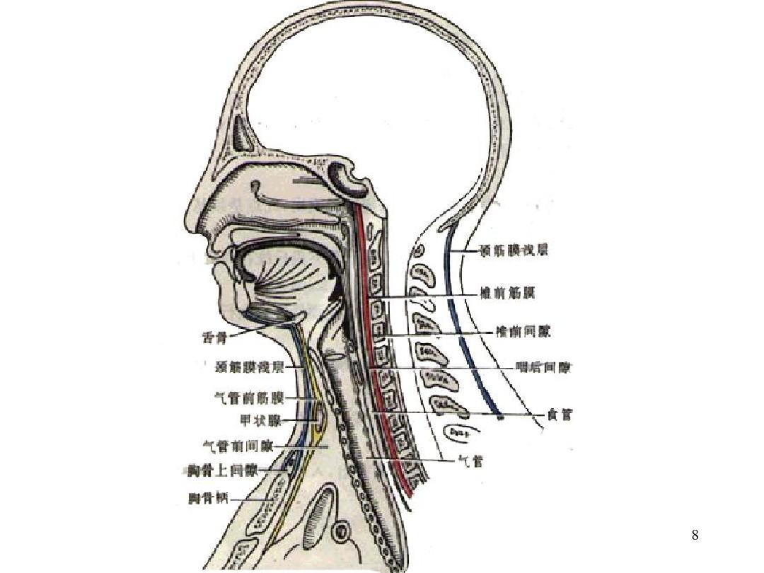 精美3d人体解剖图_颈椎解剖动图图片展示_颈椎解剖动图相关图片下载