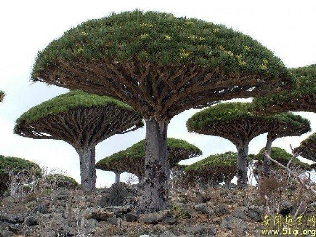 小学美术校本课程《神奇的大树》ppt图片
