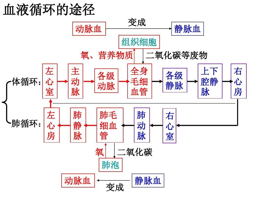 3.3体内物质的运输(第三课时)血液循环ppt图片